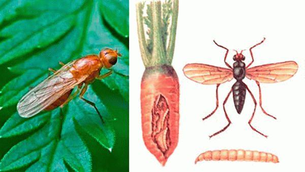 Морковная муха: как с ней бороться на участке