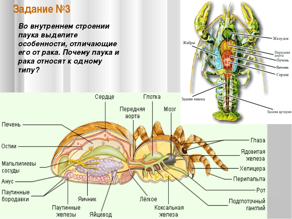 Класс паукообразные — внешнее и внутренне строение
