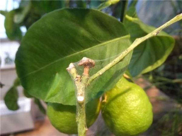❶ паутинный клещ на лимоне - как бороться в домашних условиях
