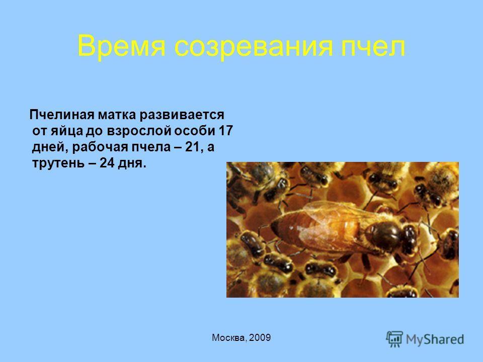 Развитие пчелы по дням   стадии развития, пчела семья, гнездо