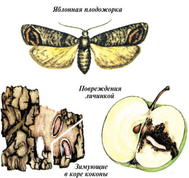 """Когда опрыскивать яблони от плодожорки? - журнал """"совхозик"""""""