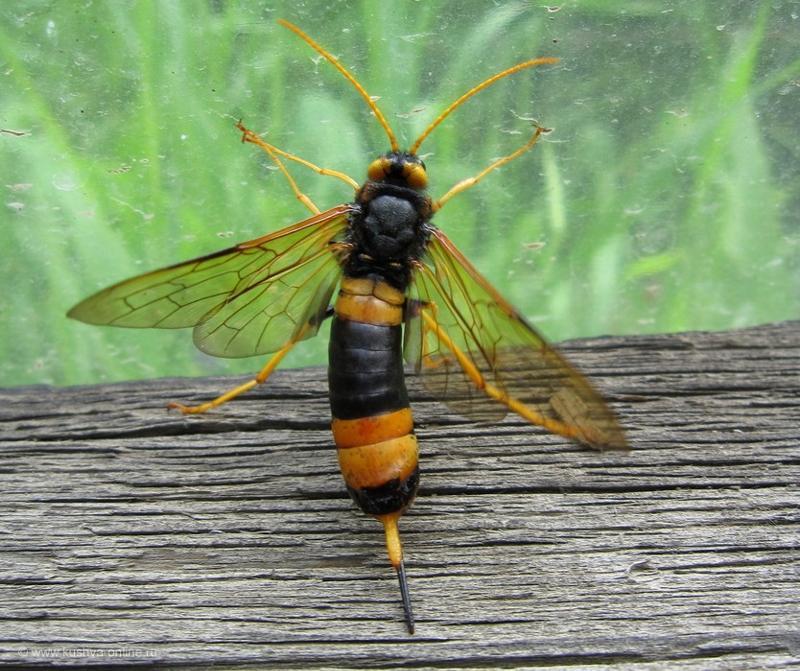 Оса - виды, места обитания, устройства улья и рода (120 фото и видео)