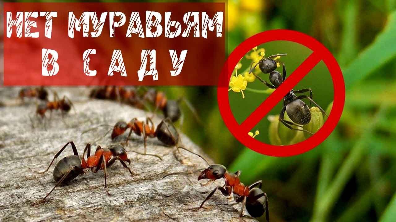 Как бороться с муравьями в огороде, квартире и доме пищевой содой