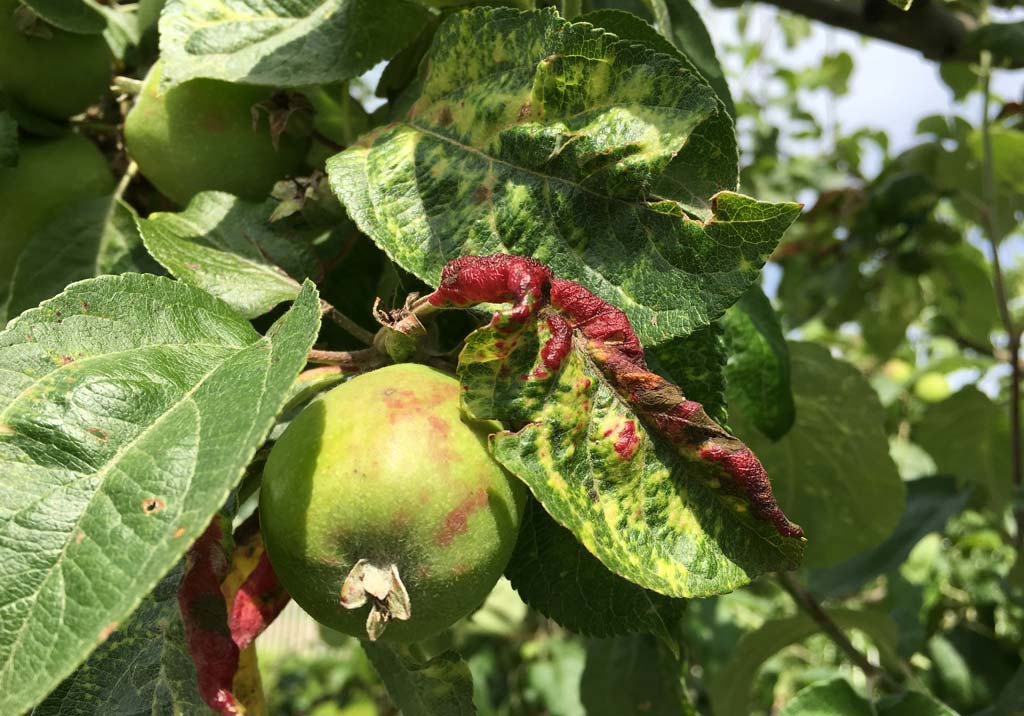 Тля на груше: чем обработать дерево?