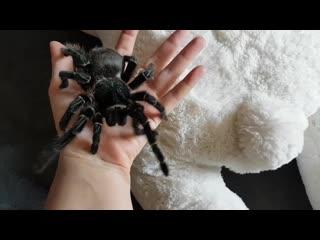 Как линяет паук, какие виды и почему они это делают, куда девают шкуру?
