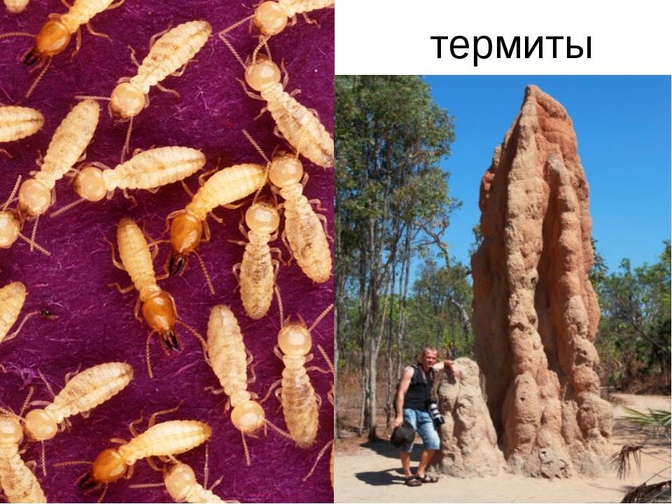 Термиты. описание, распространение и фото термитов
