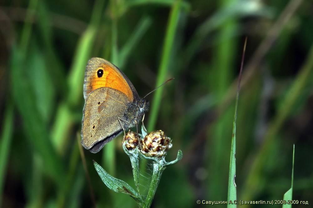 Описание и фото бабочки и гусеницы златогузки