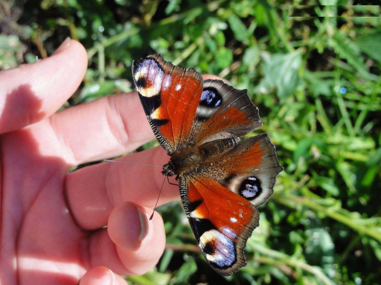 Интересные факты о бабочке павлиний глаз | vivareit
