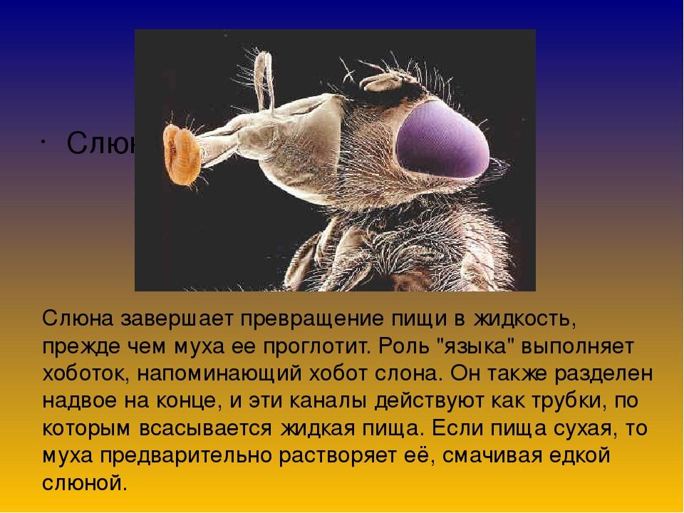 Что будет если съесть личинку мухи. мясная муха: описание, личинки, срок жизни. что будет, если съесть личинку мухи
