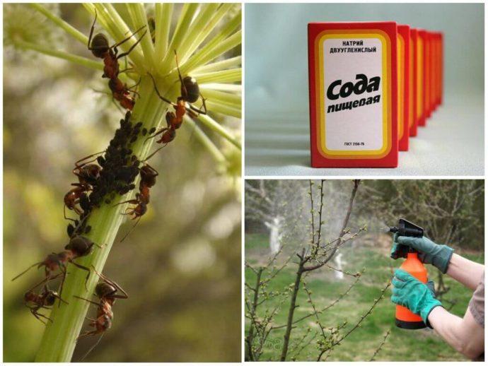 Польза и вред опрыскивания пищевой содой растений