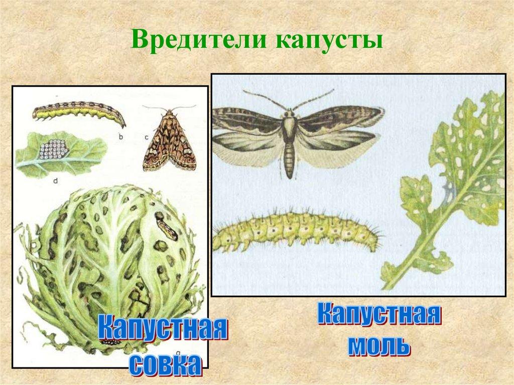 Вредители капусты и других крестоцветных