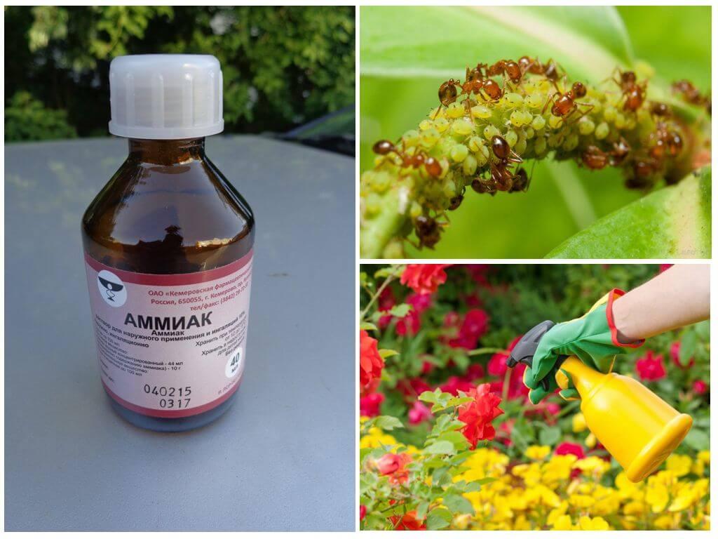 Нашатырный спирт на огороде: как защитить растения от тли