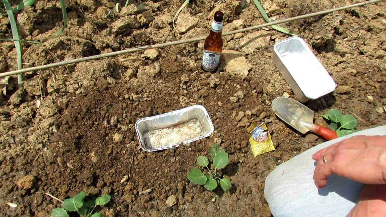 Как избавиться от медведки в огороде: народные способы и химические средства