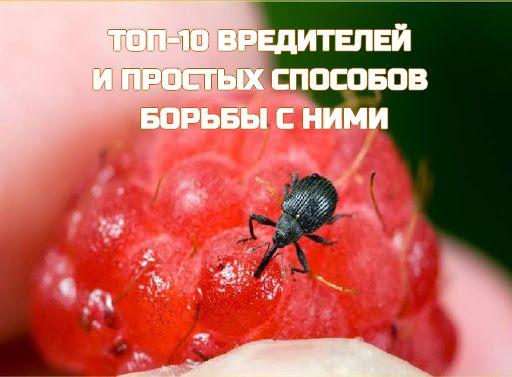Вишневый слоник меры борьбы. самые эффективные методы борьбы с вредителями вишни. все термины на