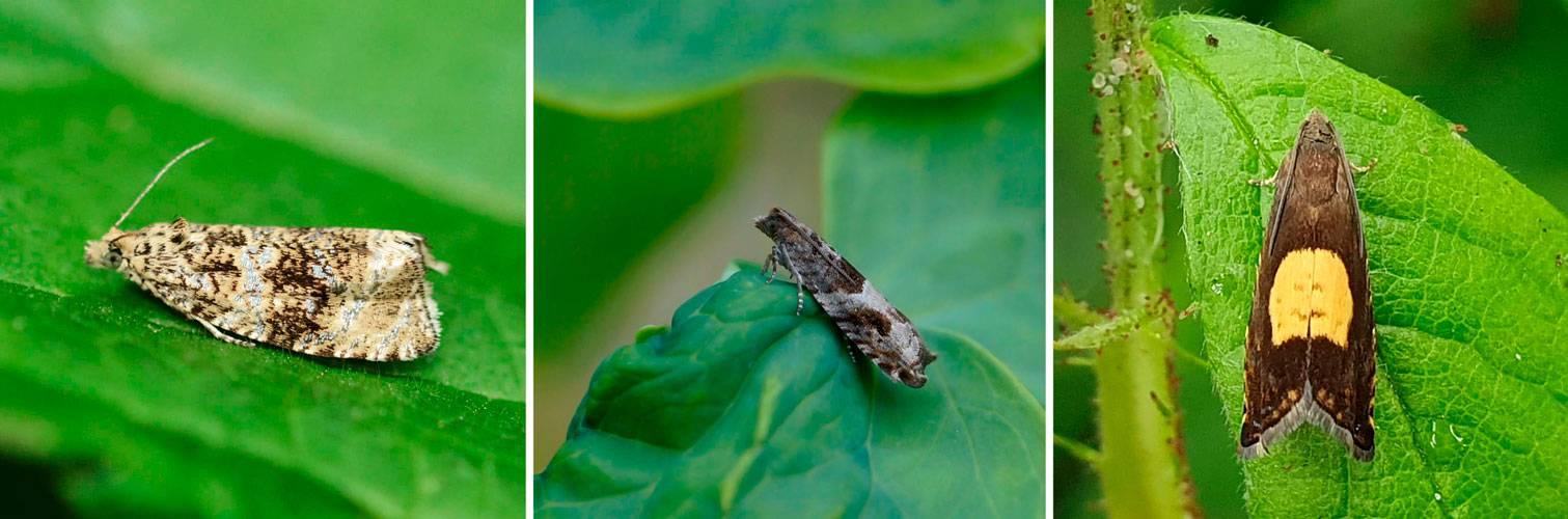 Бабочка листовертка: фото, средства и меры борьбы с вредителем препаратами и народными средствами