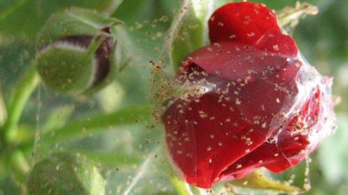 Тля на розах и способы борьбы с вредителем. как избавиться? чем обработать? — ботаничка.ru