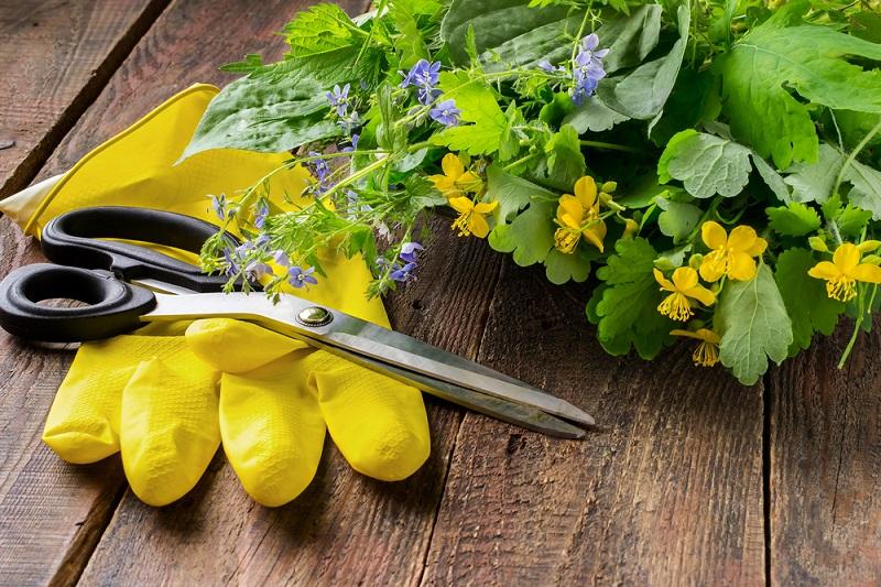 Чистотел для борьбы с вредителями сада и огорода