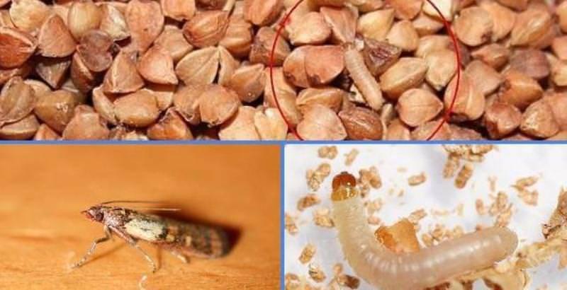 Жуки в крупах: как бороться и избавиться, эффективные средства
