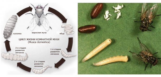 Муха дрозофила – фото с описанием, как появляется, чем питается и как избавиться?