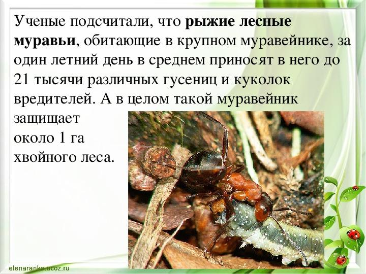 Чем полезны муравьи объяснить ребенку