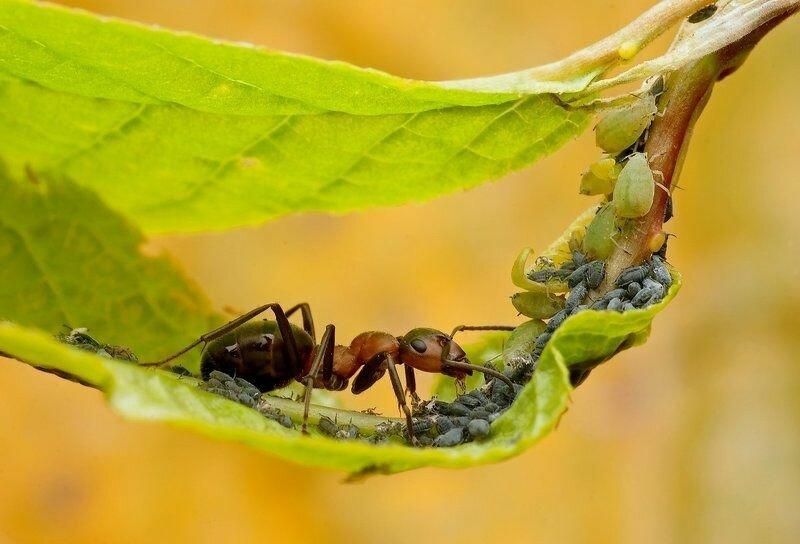 Борьба с тлей. методы борьбы с муравьями и тлей на дачном участке | огородники