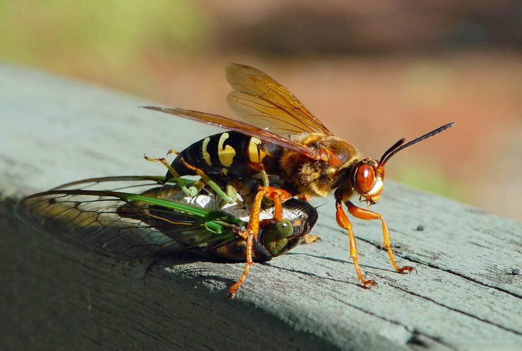 Пчела: описание, размножение, образ жизни, ареал, питание, враги, как делают мед, интересные факты  - «как и почему»