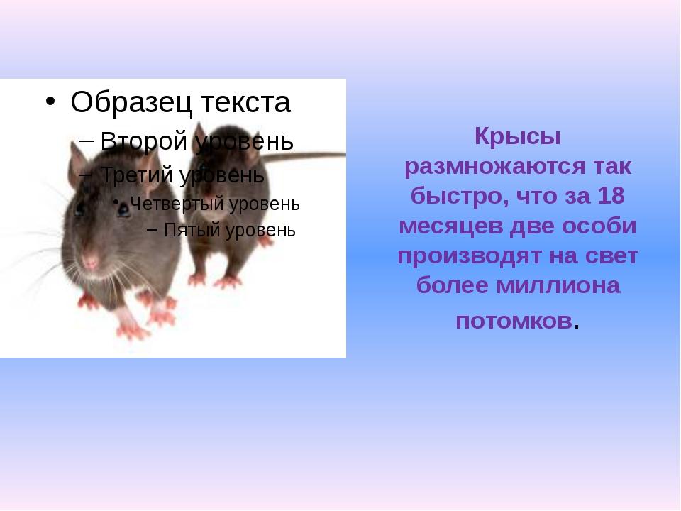 Черные крысы: внешний вид, среда обитания, питание, размножение грызунов