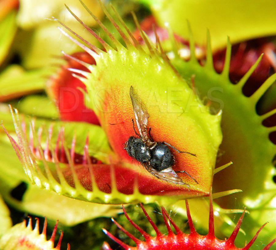 Что едят комнатные, мясные и другие виды мух?