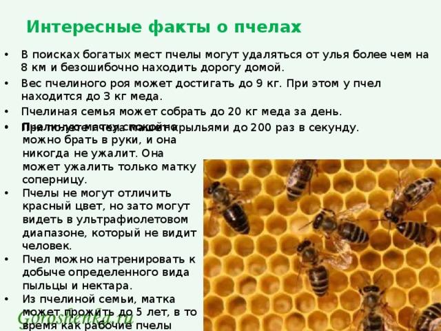 Интересные факты о пчелах - 24сми