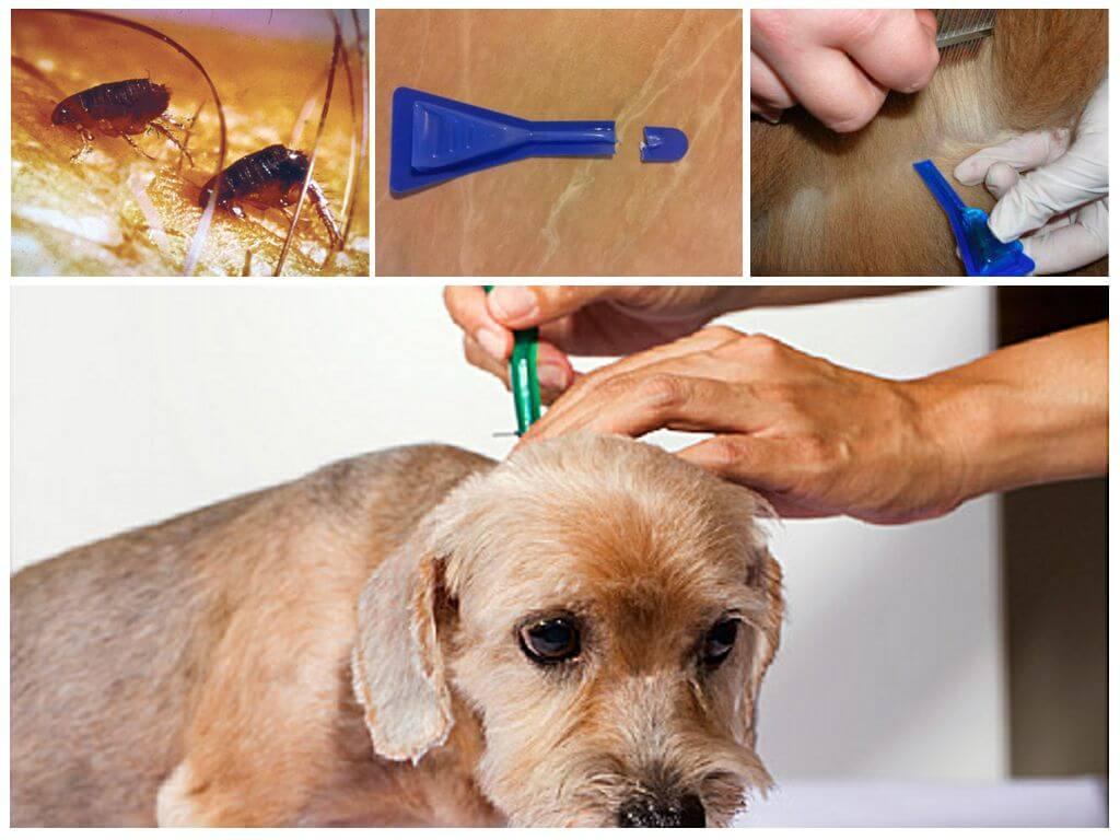 Как эффективно вывести блох у собаки в домашних условиях: чем лечить, народные средства, которые работают, как избавиться и чем обработать