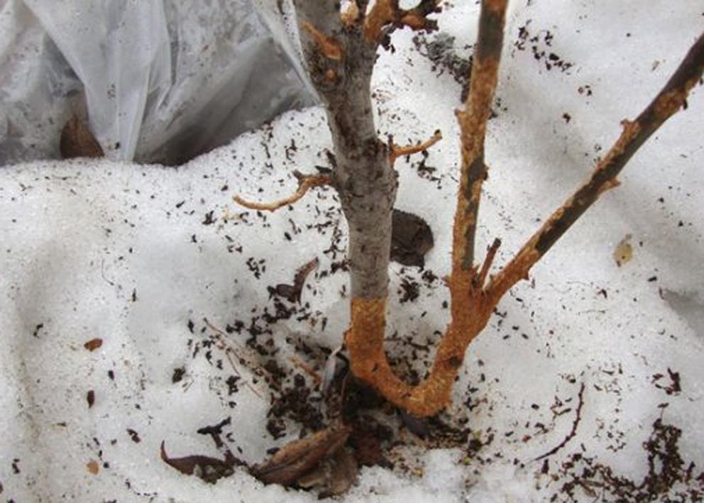 Мыши погрызли кору яблони: что делать и как спасти, если объели ствол молодой и старой