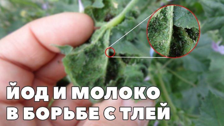 Йод на огороде и в саду. опрыскивание и подкормка растений йодом