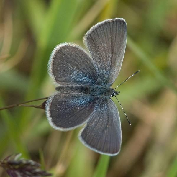Голубянки / butterflies