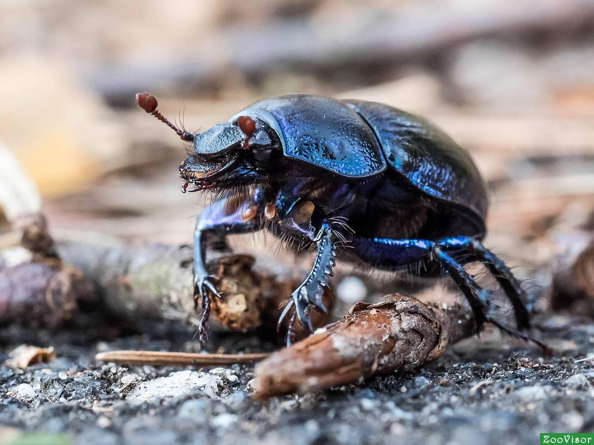 Жук-навозник: внешний вид и вред от насекомого