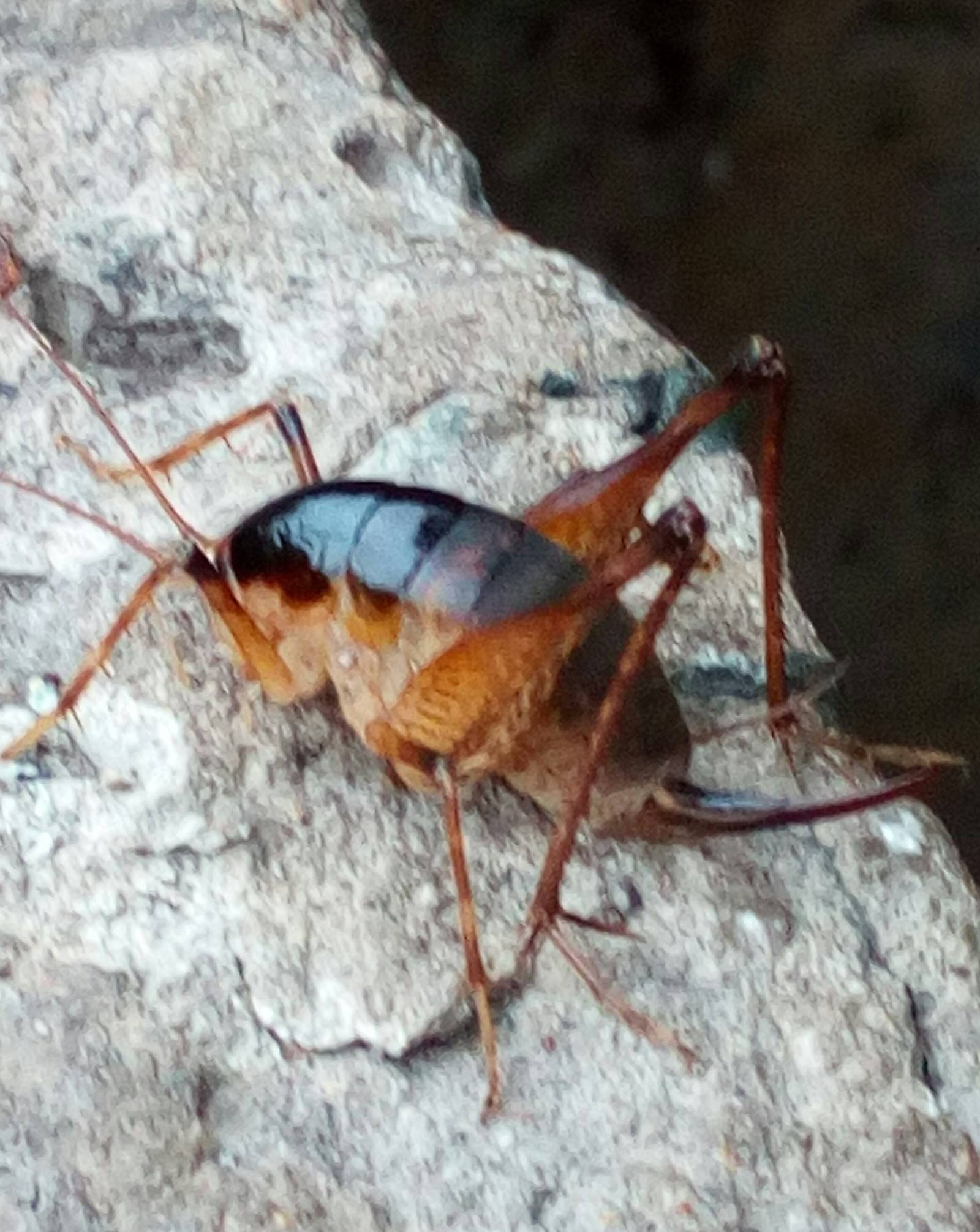Кузнечик оранжерейный – необычное насекомое в наших подвалах и теплицах