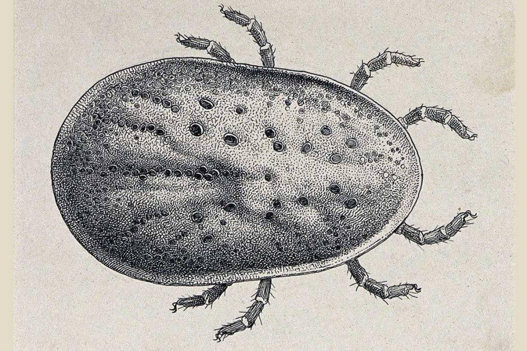 Аргасовый клещ: внешний вид и опасность аргазидов для человека