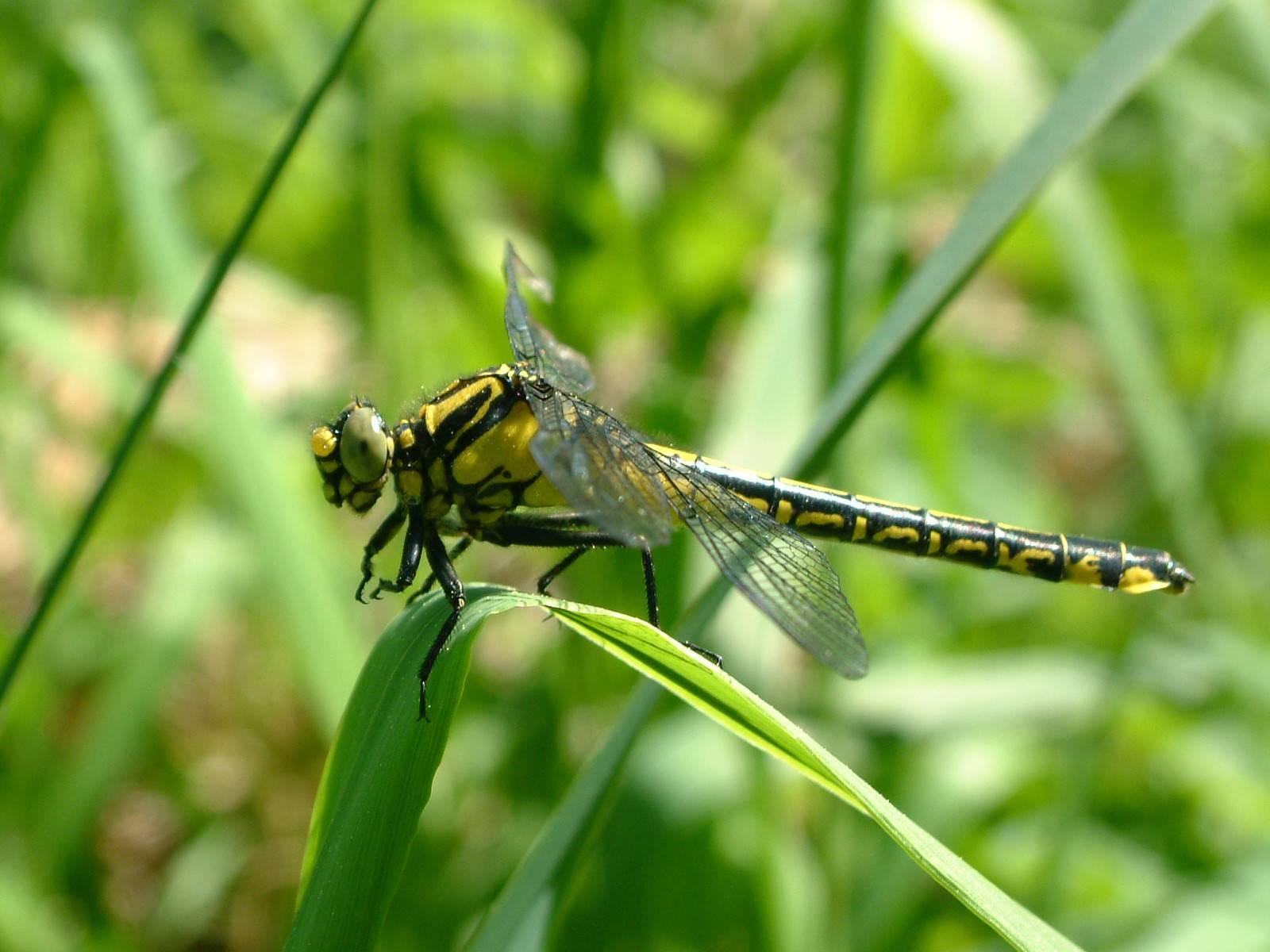 Дедка рогатый: особенности внешнего вида и образа жизни речных стрекоз