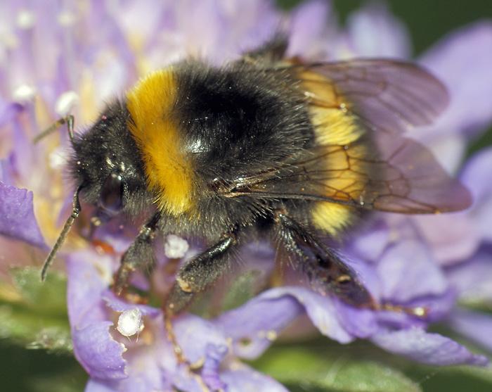 Медоносные пчёлы