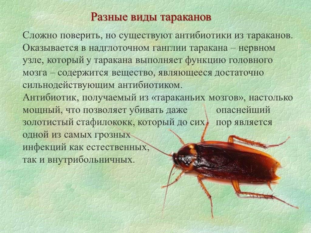 Ротовой аппарат у таракановых