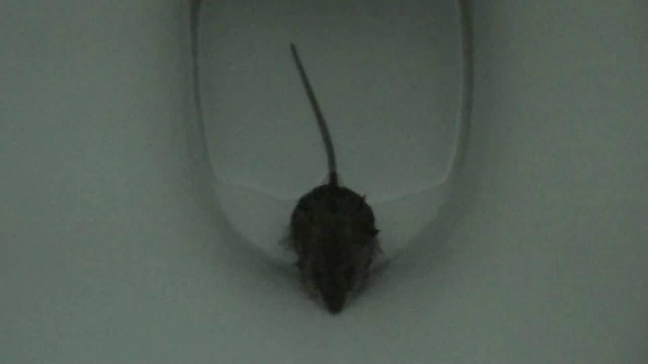Крыса в канализации как избавиться: что делать, как бороться и вывести