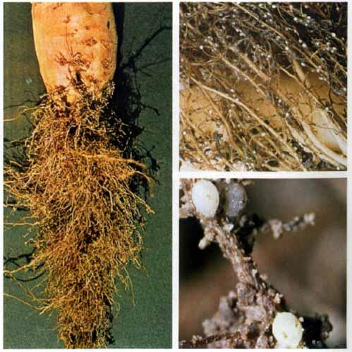 Свекловичная нематода – тайный вредитель на сельскохозяйственных полях