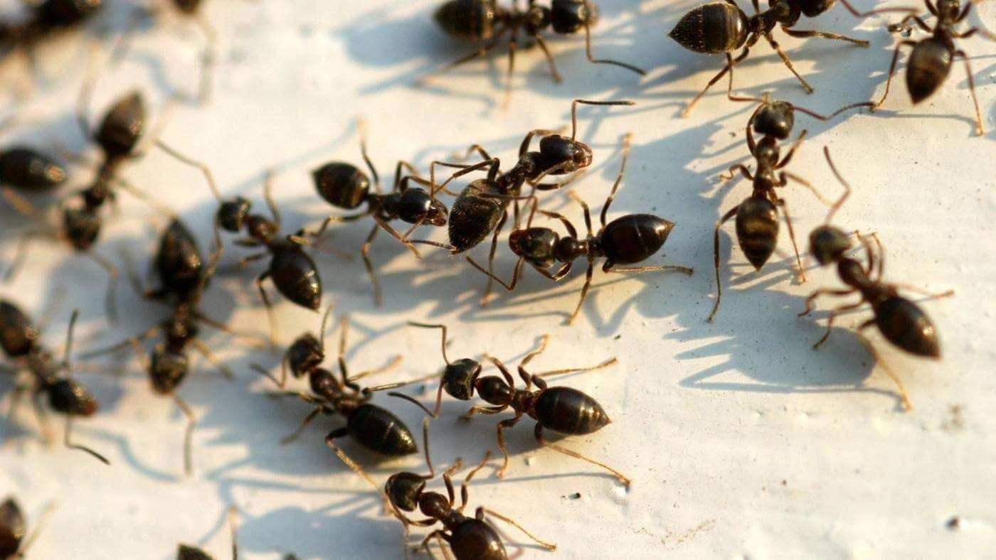 Корица от муравьев в огороде: 6 способов применения - etocvetochki.com