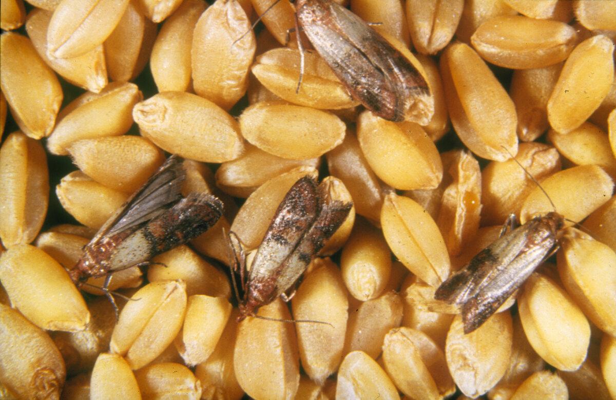 Методы борьбы с фруктовой молью и профилактики
