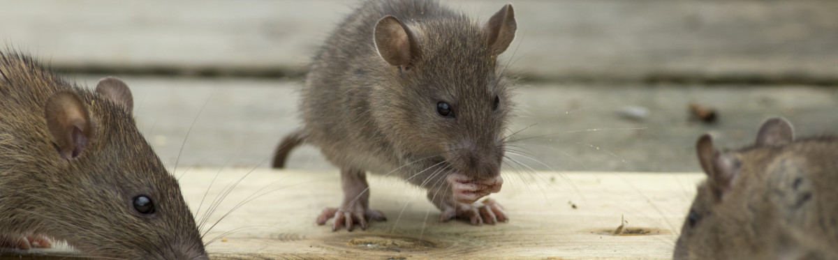 Черная крыса и рыжая: фото и описание образа жизни русский фермер