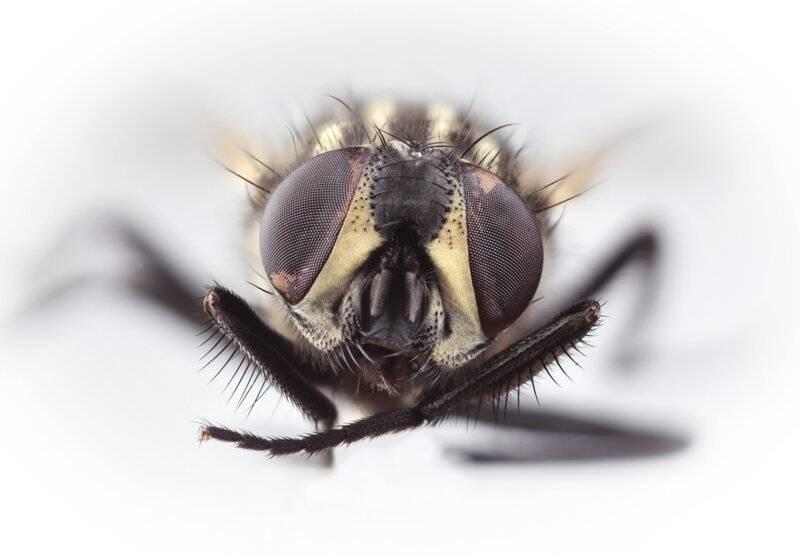 Что делают мухи когда потирают лапки. почему мухи потирают лапки. что будет, если обезжирить лапки мухи
