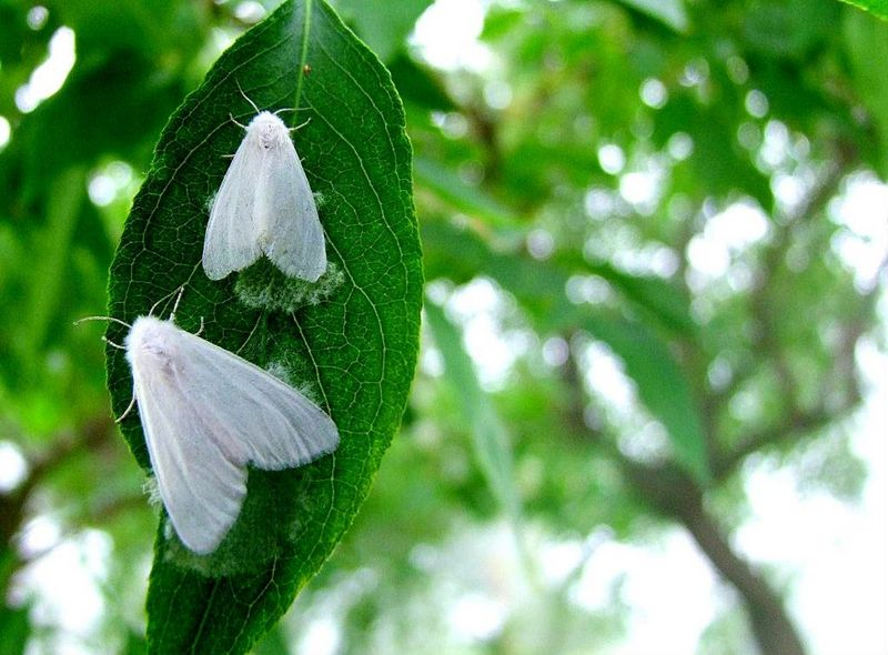 Американская бабочка вредитель деревьев