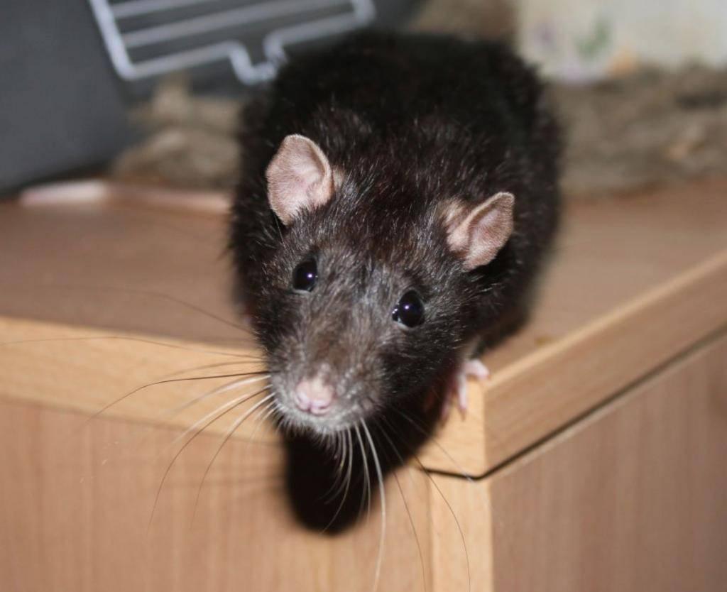 Как избавиться от крысы и квартире на первом и втором этаже