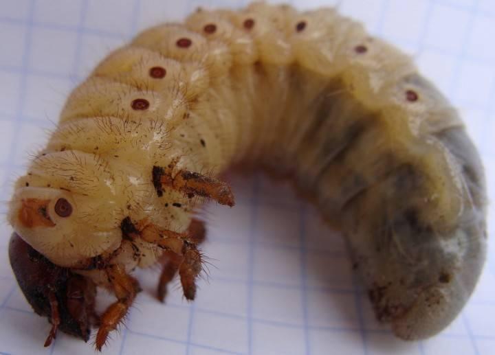 Как отличить личинки медведки и майского жука? русский фермер