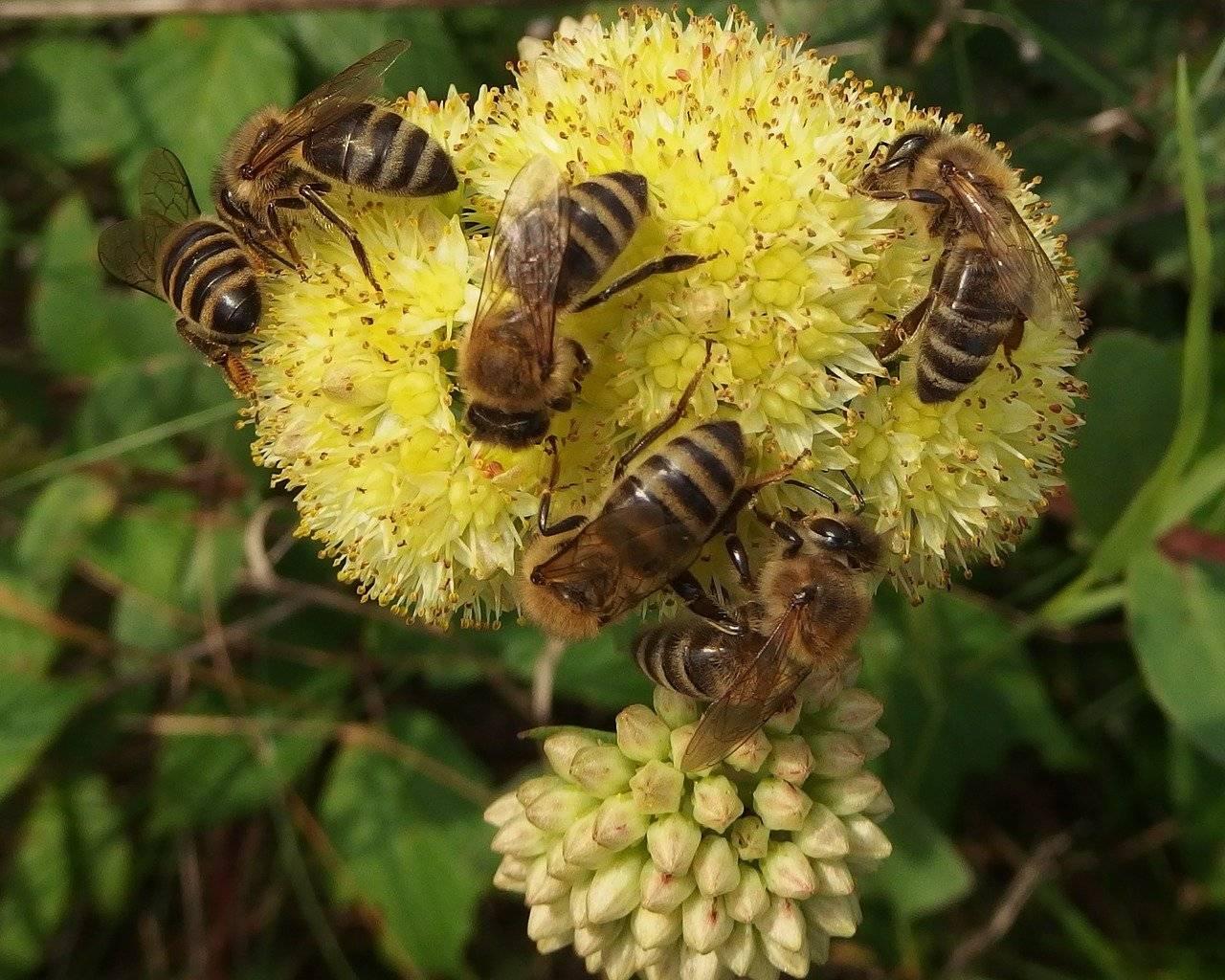 Медоносная пчела: описание, образ жизни и значение для человека