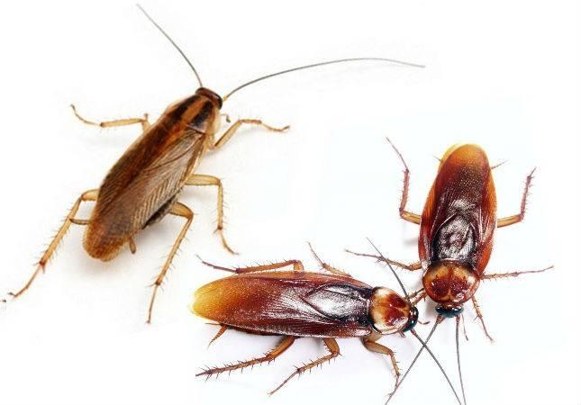 Сколько живут тараканы: жизненный цикл, условия размножения, стадии развития